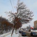 https://smolensk-i.ru/society/v-smolenske-reshili-spilit-staryie-topolya-vdol-tramvaynoy-linii_268241