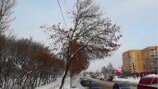 В Смоленске решили спилить старые тополя вдоль трамвайной линии
