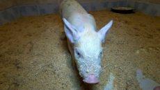 Приключения мини-пига в смоленском приюте для животных сняли на видео