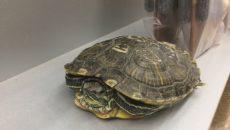 В Смоленске черепаха поселилась в подъезде жилого дома