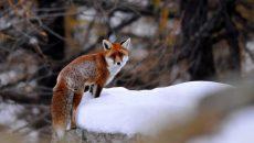 В Смоленской области лиса покусала любителя животных