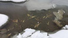 Росрыболовство назвало предполагаемую причину мора рыбы в реке под Смоленском