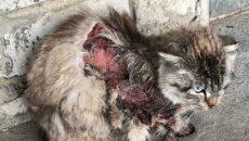 В Смоленске пытаются спасти кошку, оставшуюся без кожи