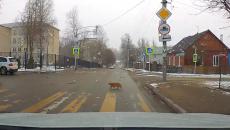 В Смоленске сняли на видео соблюдающего ПДД кота