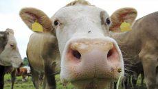 Корова «под колпаком»