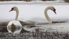 В «Смоленское Поозерье» возвращаются лебеди