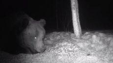 В «Смоленском Поозерье» проснулся медведь. Он попал в фотоловушку