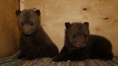 Под Смоленском провели операцию по спасению брошенных медвежат