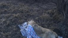 Смоляне отказались хоронить труп сбитой собаки