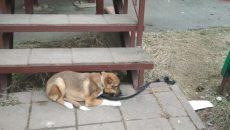 В Смоленске хозяева бросили щенка привязанным к лестнице и с запиской