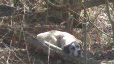 «Ждет своего часа». На смоленской дороге сбили собаку и оставили ее умирать