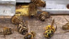 Под Смоленском пчеловоды сообщили о массовой гибели пчёл