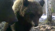 Под Смоленском сняли на видео разговор двух медведей