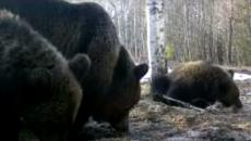 Подросшую семью медведей в Смоленском поозерье сняли на видео