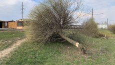 В Смоленске неизвестные вандалы срубили шаровидные ивы