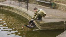 В Смоленске лебедей вернули в пруд Лопатинского сада