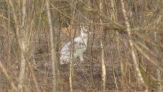 Под Смоленском на видео сняли зайца в «зимнем наряде»