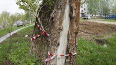 В Смоленске ликвидируют опасные деревья