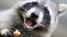 Под Смоленском сняли на видео ночную трапезу диких животных