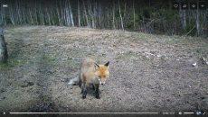 В Смоленском Поозерье голодная лиса попала в фотоловушку