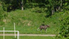 В Смоленске лось вновь выбежал из леса на стадион вуза