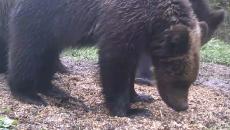 Под Смоленском медведицу и её послушных детёнышей сняли на видео