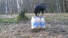 Под Смоленском «сражение» диких зверей с упаковкой сгущенки сняли на видео