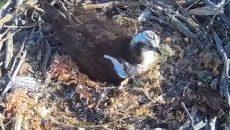 «Завтрак в гнездо». Под Смоленском заботливого самца скопы сняли на видео
