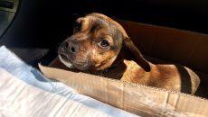В Смоленске стало известно о состоянии собаки, которую водитель после аварии оставил умирать