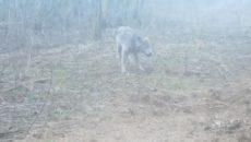 Под Смоленском на видео сняли волка за завтраком