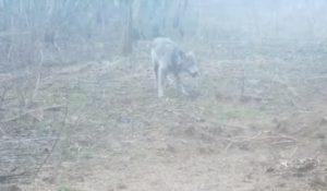 волк (фото vk.com_prirodaonlin)