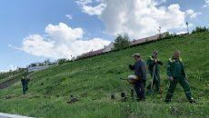 На набережной Смоленска высадили ивы