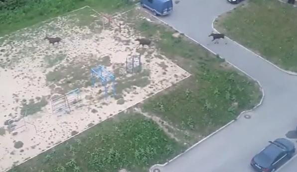 Прогулку лосей по Смоленску сняли на видео