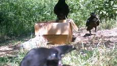 В «Смоленском Поозерье» стаю любопытных ворон сняли на видео