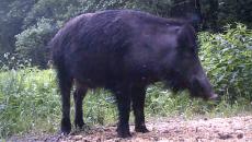 В «Смоленском Поозерье» атаку мошкары на дикого кабана сняли на видео
