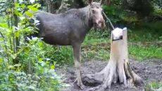 В «Смоленском Поозерье» молодого лося потянуло на солененькое