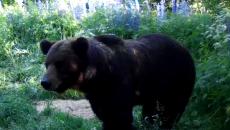 В «Смоленском Поозерье» хозяина леса сняли на видео