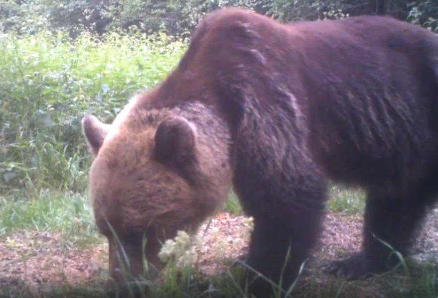 В «Смоленском Поозерье» медведя-сыщика сняли на видео