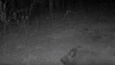В Смоленском поозерье бесстрашный мышонок пошел «в атаку» на кабана
