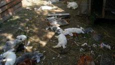 Под Смоленском неизвестный зверь совершил массовое убийство домашних животных