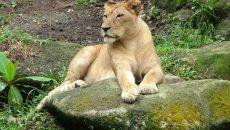 Тверские грибники обнаружили львицу, которая сбежала из цирка в Смоленской области