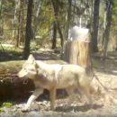 https://smolensk-i.ru/society/v-smolenskom-poozere-ostorozhnogo-volka-snyali-na-video_292812