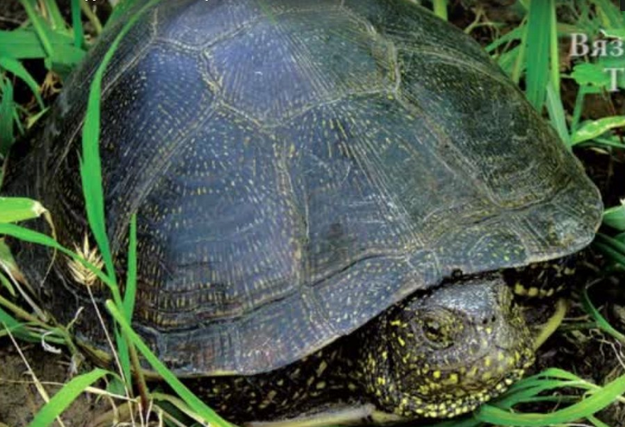 вязьма черепахи