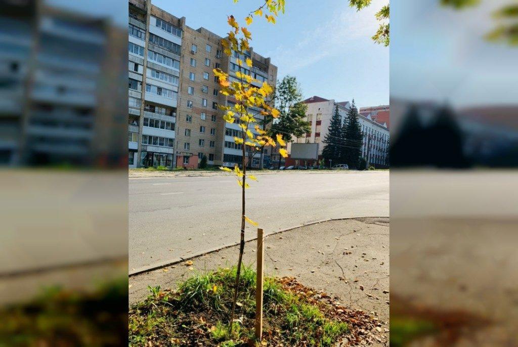 озеленение, клён, улица Тенишевой (фото vk.com official_smolensk)