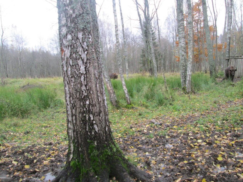 зимняя подкормка зубров (фото пресс-службы Смоленского Поозерья)_2
