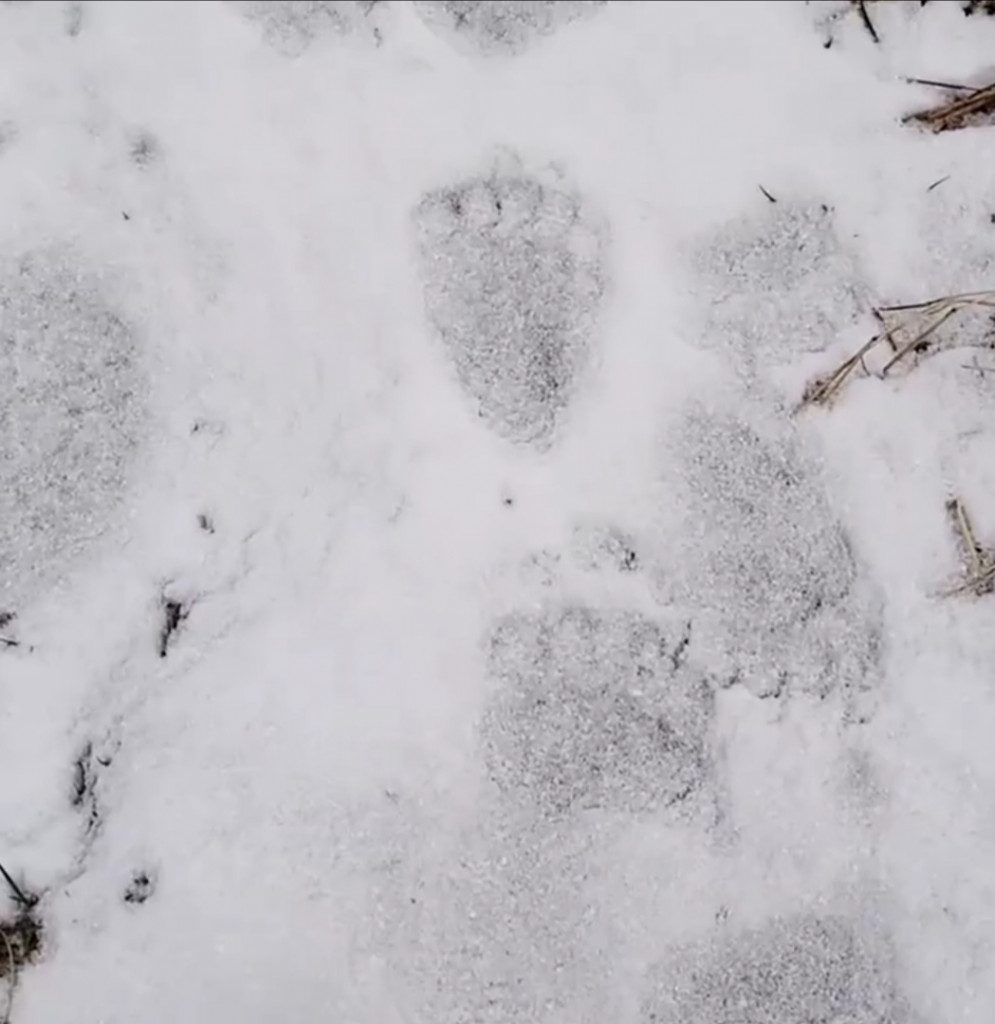 лапы медведя