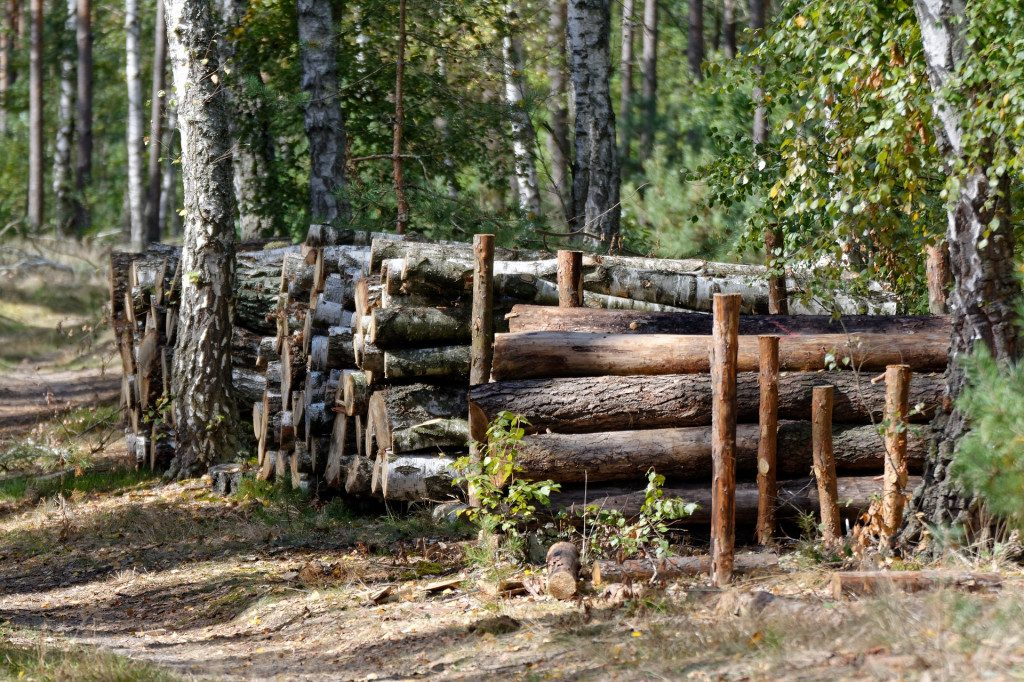 древесина, лес, рубка, берёза