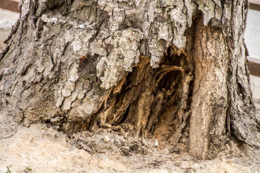 старое дерево, реконструкция части улицы Николаева (фото smoladmin.ru)