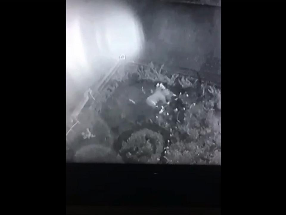 кража цветов с придомовой клумбы (кадр видео vk.com black.smolensk)