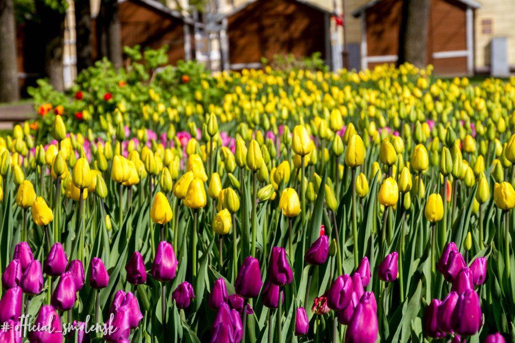 тюльпаны возле Главпочтамта (фото vk.com official_smolensk)